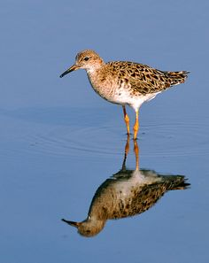 Ruff is a mediums wading bird prefers wetlands and bogs
