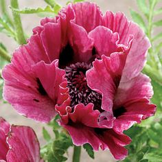 'Harlem' is an Oriental Poppy that blooms in early summer, with all the other Poppies, then  rests and reblooms late in the season!