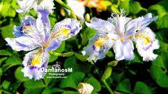 Iris japonica fringed iris