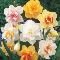 Bulbs Buy Double Daffodil Mix at Michigan Bulb - We've captured the beauty of one of the most popular Dutch flowers in this exciting mix. Each variety of daffodil bloom exhibits a double center in bright yellow, creamy white or vivid orange. Flower Pots, Bulb Flowers, Plants, Spring Flowering Bulbs, Daffodil Bulbs, Flowers, Daffodils, Flower Pot Design, Fall Plants