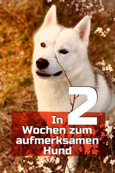 2 Wochen Trainingsplan für einen aufmerksamen Hund With this simple step-by-step guide your dog becomes a nerd and your bond gets a whole new level. Dog Treat Toys, Dog Treats, Dog Pitbull, Training Plan, Akita, Dog Love, Funny Animals, Your Dog, Bond