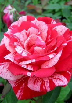 Ferdinand Pichard - Hybrid Perpetual, red blend, 25 petals, 1921