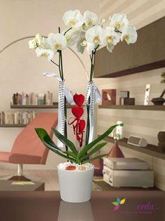 İki kandilli beyaz Phalaenopsis orkide Ordu'da hızlı, ucuz ve kaliteli çiçek göndermek için en doğru adres.. www.cicekordu.com