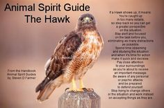 Animal Spirit Guides - The Hawk (my West totem) Hawk Spirit Animal, Spirit Animal Totem, Animal Spirit Guides, Animal Totems, Reiki, Animal Symbolism, Animal Meanings, Color Meanings, Astrology