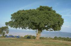 Ficus sycomorus-sycamore fig