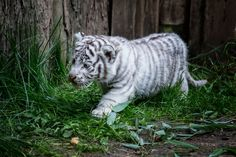 Very young white tiger