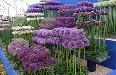 Alliums for the flower garden How to grow alliums, what variety to choose Hardy Easy Not susceptible to any serious plant diseases or pests and even ornamental alliums are deer and rodent resistant because they are technically members of the onion family Cut Flower Garden, Flower Gardening, Organic Gardening, Small Flower Gardens, Gardening Blogs, Vegetable Gardening, Flowers For Garden, Outdoor Flowers, Peonies Garden