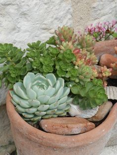succulents in terrac