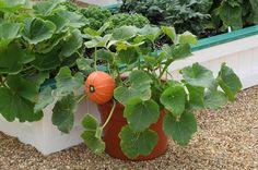 Windsor Pumpkin in pot