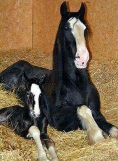 Mare and her foal laying on straw!