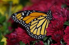 Monarch Butterfly on Red Mums
