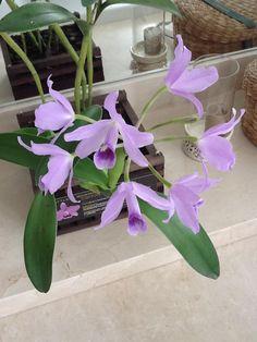orquideas raras e exoticas - Pesquisa Google