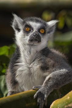 https://www.facebook.com/furbabiesarethebestbabies Ring-tailed Lemur | Amazing Pictures – Furkl.Com