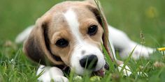 Beagle Breed Information, Characteristics, Puppy Names