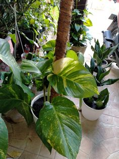 Golden Pothos Plant, Epipremnum Pinnatum, Best Indoor Plants, Plant Leaves, Things To Make