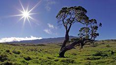 Koa tree on Big Island