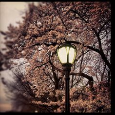Central Park trees in bloom for Spring