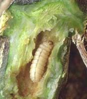 How to remove a squash vine borer