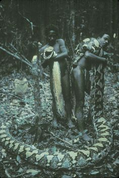 A 22.6-foot Reticulated Python killed in the Philippines in 1970. The Reticulated Python is the world's longest snake. Females typically weigh 75 kilograms (165 pounds) and grow larger than 7 metres (23 feet).