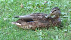 QC - Québec - Domaine de Maizerets - 1 de 2 - Canards Parcs, Animals, Animais, Animales, Animaux, Animal, Dieren