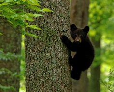 Los primeros juegos de tres oseznos negros  Estas fotografías han sido tomadas en el Parque Nacional Great Smoky Mountains, situado en Tennessee (EEUU).
