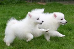 GORGEOUS JAPANESE SPITZ PUPPIES ONLY 2 BOYS LEFT | Aberdeen, Aberdeenshire | Pets4Homes