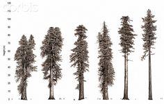 Illustration of redwood tree growth along the Pacific coast. - Corbis
