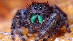 Tarantula | right click picture to save