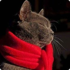 chartreux cat red scarf