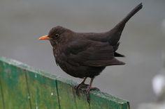 Femail Blackbird