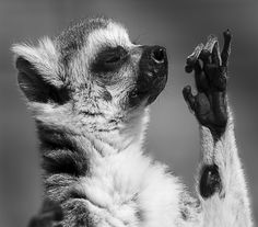 Free Image on Pixabay - Lemurs, Ring-Tailed, Wildlife, Zoo Free Pictures, Free Images, Scratch Art, Framed Prints, Canvas Prints, Photography Courses, Animals And Pets, Wildlife, Lemurs