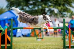 Dog agility photography, training, drills and jumps at Just Dogs Live course in Peterborough. Dog jumping.