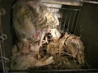 Oripää 2006  Häkeistä löytyi paljon kuolleita, mädäntyneitä lintuja elävien seasta, joistakin kuuden kanan häkeistä kaksikin kuollutta. Elävillä linnuilla oli vain vähän höyheniä, takapuolet olivat höyhenettömiä, punaisia ja erittäin huonokuntoisia. Elävät kanat astelivat häkissä kuolleiden päällä. Todella epäsiisti ja karmiva paikka.
