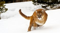 Winter Cougar by Christopher R. Gray on 500px