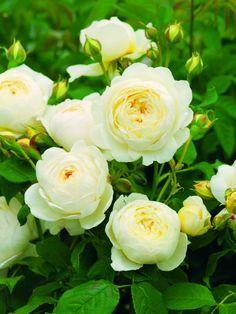 Austinrosor, 'Claire Austin' - Upprätt och buskigt utseende med eleganta, något välvda grenar. Stora och tätt fyllda. Först pionlika och senare skålformade. Ljust citrongula blomknoppar och krämvita blommor. Mellanstark till stark, söt myskdoft.