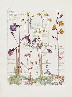 H. Isabel Adams Wildflower Prints