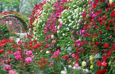 privacy plants ideas climbing roses colorful rose garden privacy screen ideas