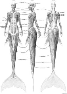Mermaid musculature by ~empyrean  Caption:  Anterior, lateral, and posterior view of the musculature of a supposed mermaid which possesses cetacean traits instead of the traditional piscine. Revised 2011-02-16 to correct overall form of gluteus, taking a more logical approach to vertebral attachment points.