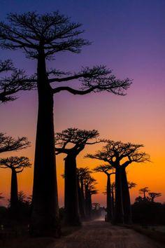 Baobás. Tão gigantescos, fortes....e só tiram da terra oque necessitam.Nobres no sentido mais profundo de existir!