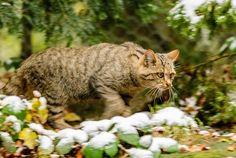 Sensationeller Nachweis - Wildkatze ist zurück im Memminger Raum  #BaySF #Bayern #Staatsforsten #Tier #Tiere #Natur #Wald #Schutz #Wild #Wildkatze #Katze #Memmingen #Naturschutz #Waldnaturschutz