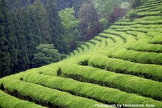 Tea in Japan is culture. Shizuoka tea is considered to be the best tea of Japan.