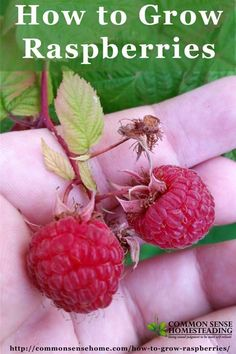 How to Grow Raspberries: Raspberry Growing Requirements - Soil, Location, Water, Mulch. Difference between Summer Bearing and Fall Bearing Raspberries.: