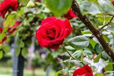"""0 Me gusta, 0 comentarios - juancho (@juancho_a_g) en Instagram: """"La belleza de las rosas #fotonovato #fotoamateurchile #parque #rosaroja🌹 #rosamorada #rosaamarilla…"""""""