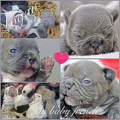 @loganbulldogg  Bulldog , french , Instagram , puppy , blue