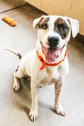 Brady is an adoptable American Bulldog Dog in McKinney, TX.  Hi, I'm Brady. I might be a big boy, but I'm a little nervous in the shelter. I love when people come visit me though because I love to cud...