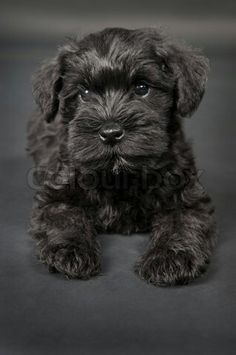 of stock image of black little cute puppy zwergschnauzer dog wallpaper Black Schnauzer, Miniature Schnauzer Puppies, Schnauzer Puppy, Standard Schnauzer, Schnauzers, Fox Terriers, Cute Dogs And Puppies, I Love Dogs, Doggies