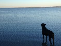 My puppy love Volt, contemplating a swim.