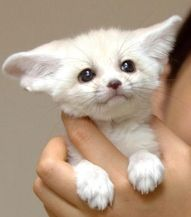 winou winou nice cat <<< that.. that is not a cat it's a baby fennec fox