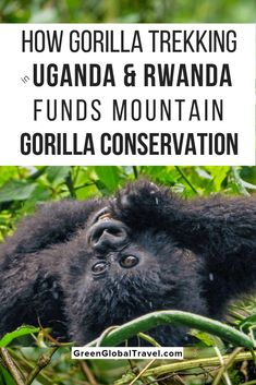 How Gorilla Trekking in Uganda & Rwanda Funds Gorilla Conservation Morocco Travel, Africa Travel, Uganda Travel, Gorilla Trekking, Africa Destinations, Travel Tips, Travel Ideas, Travel Packing, Usa Travel