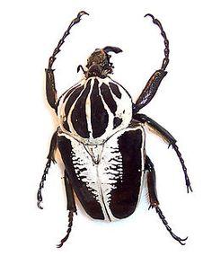 Escarabajo Goliat, viven en las selvas Africanas 5 a 10cm de longitud, son los insectos mas voluminosos que existen.